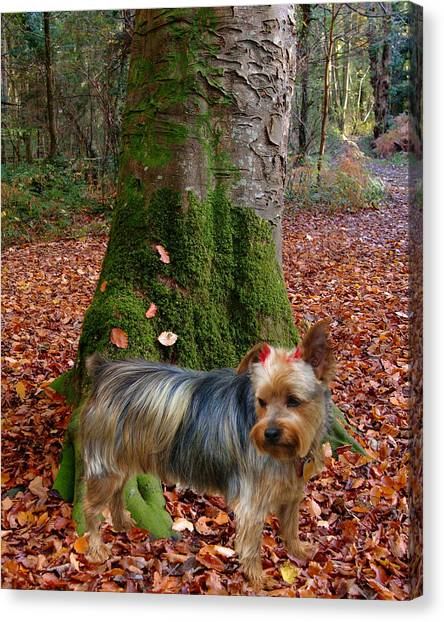 Yorkie Pose Canvas Print