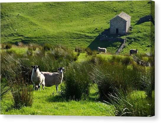 Yorkshire Sheep Canvas Print