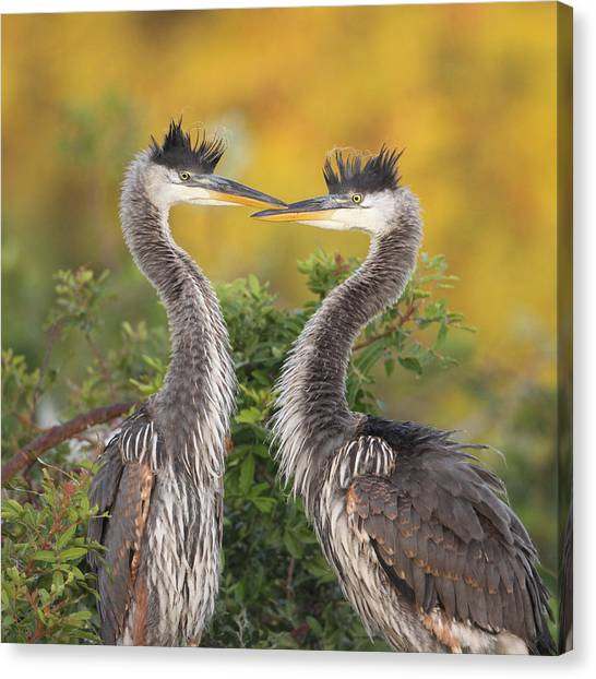 Young Herons Canvas Print by Brian Magnier