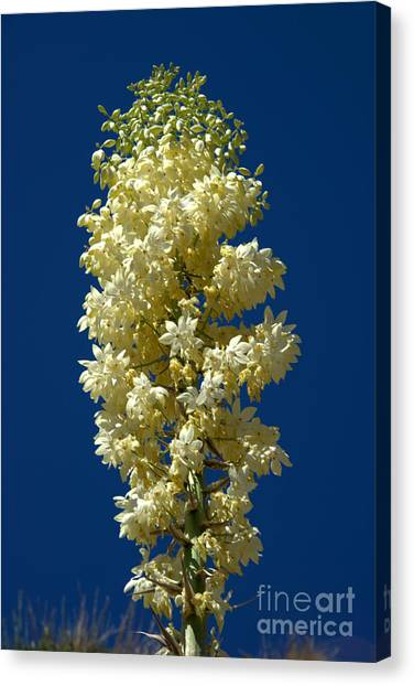 Yucca In Bloom Canvas Print