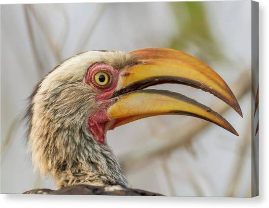 Hornbill Canvas Print - Africa, South Africa, Londolozi Private by Jaynes Gallery