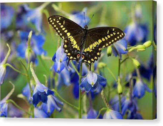 Costa Rican Canvas Print - Black Swallowtail Butterfly, Papilio by Darrell Gulin