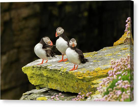 Puffins Canvas Print - Europe, Scotland, Shetland Islands by Jaynes Gallery