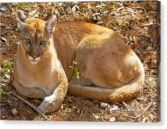 Florida Panthers Canvas Print - Florida Panther by Millard H. Sharp