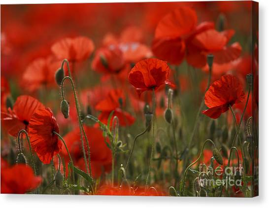 Fineart Canvas Print - Red Poppy Flowers by Nailia Schwarz
