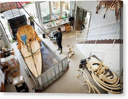 Sperm Whales Canvas Print - Sperm Whale Skeleton Preparation by Thomas Fredberg