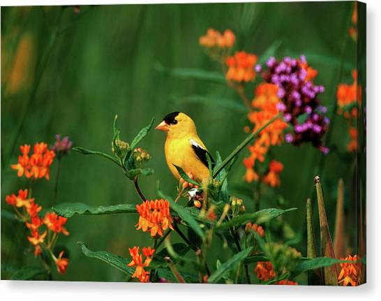 Avian Canvas Print - American Goldfinch (carduelis Tristis by Richard and Susan Day