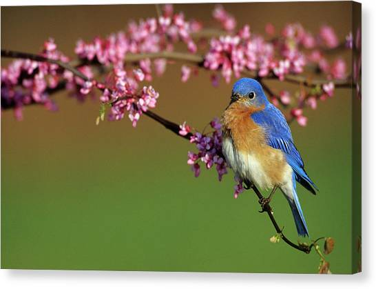 Avian Canvas Print - Eastern Bluebird (sialia Sialis by Richard and Susan Day
