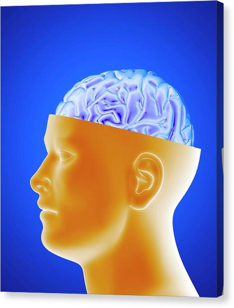 Human Brain Canvas Print by Alfred Pasieka/science Photo Library