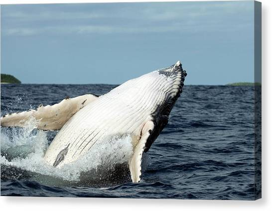 Humpback Whale Canvas Print by Christopher Swann/science Photo Library