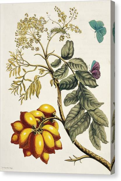 Lepidoptera Canvas Print - Insects Of Surinam by Natural History Museum, London/science Photo Library