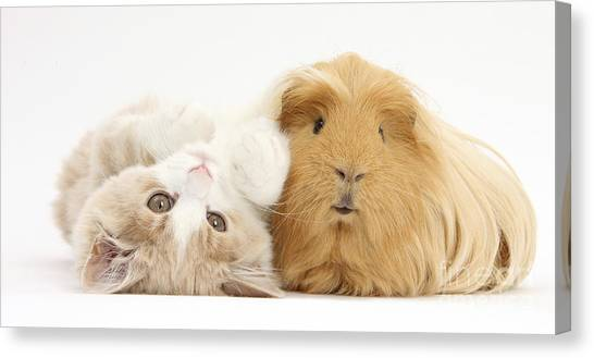 Siberian Cats Canvas Print - Kitten And Guinea Pig by Mark Taylor