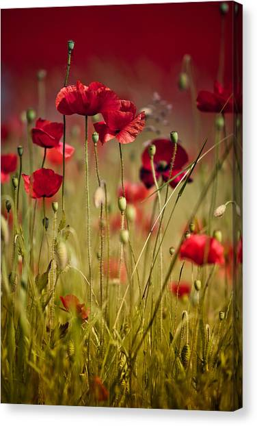 Corn Canvas Print - Summer Poppy by Nailia Schwarz