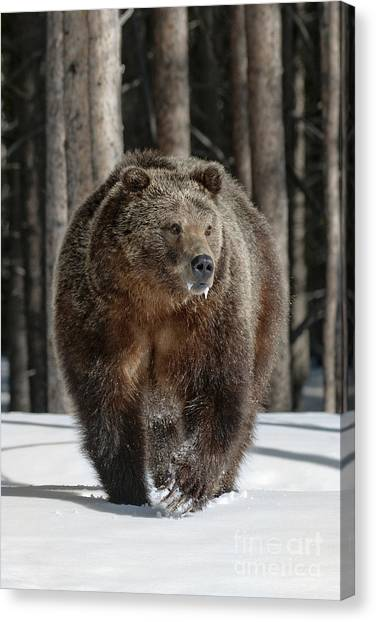 Bear Claws Canvas Print - 110423- Midway Grizzly by Pamela Talasco