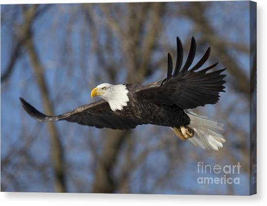Mississippi River Canvas Print - Bald Eagle In Le Claire Iowa by Twenty Two North Photography