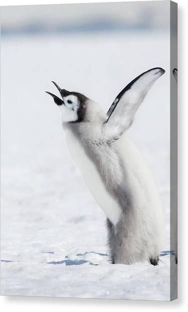 Aptenodytes Forsteri Canvas Print - Cape Washington, Antarctica by Janet Muir