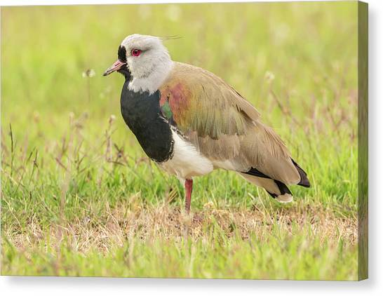 Lapwing Canvas Print - Chile, Patagonia by Jaynes Gallery