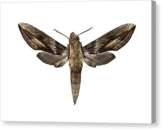 Costa Rican Canvas Print - Hawk Moth by F. Martinez Clavel