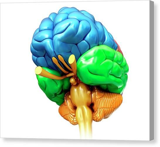 Human Brain Regions Canvas Print by Pixologicstudio/science Photo Library