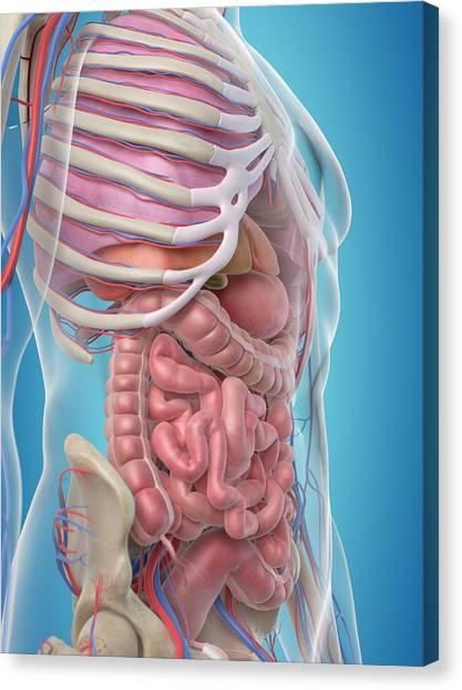Internal Organs Canvas Print - Human Internal Organs by Sciepro