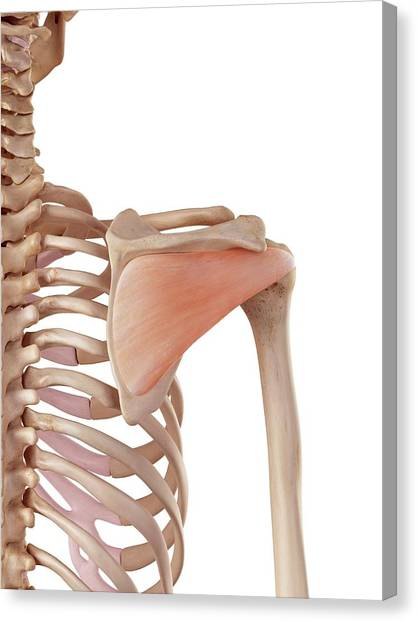 Human Shoulder Muscles Canvas Print by Sebastian Kaulitzki/science Photo Library