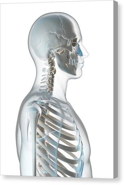Human Skull And Neck Canvas Print by Sebastian Kaulitzki