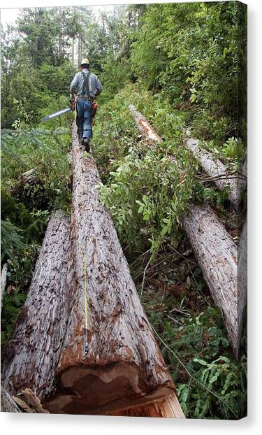 Chainsaw Canvas Print - Logging Redwood Trees by Jim West