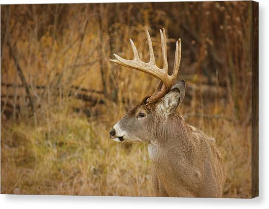 12 Point White-tail Canvas Print