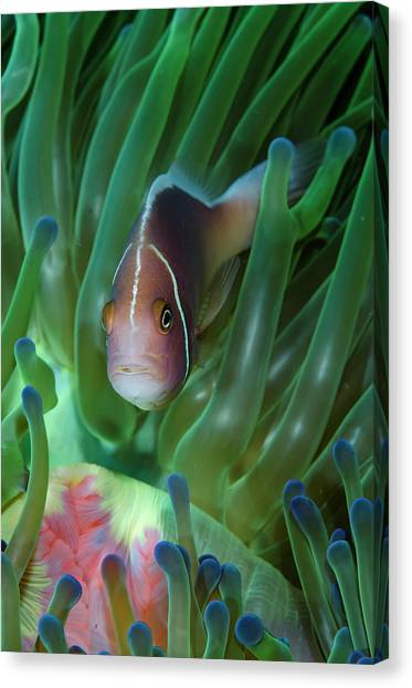 Anemonefish Canvas Print - South Pacific, Solomon Islands by Jaynes Gallery
