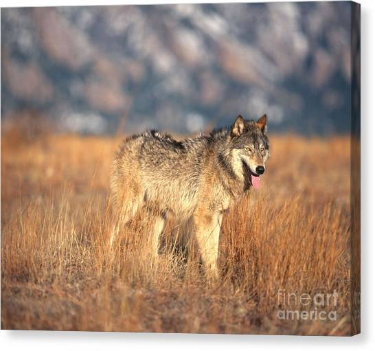 Wolves Canvas Print - Timber Wolf by Hans Reinhard
