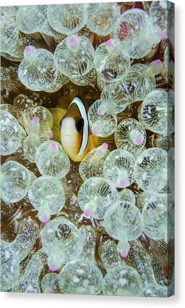 Anemonefish Canvas Print - Indonesia, Komodo National Park by Jaynes Gallery