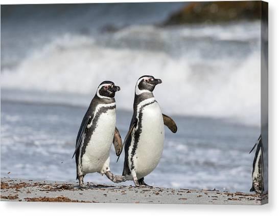 Antarctica Canvas Print - Magellanic Penguin (spheniscus by Martin Zwick