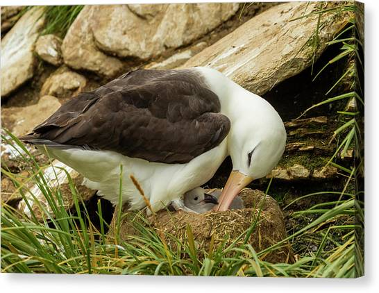 Albatrosses Canvas Print - South America, Falkland Islands by Jaynes Gallery