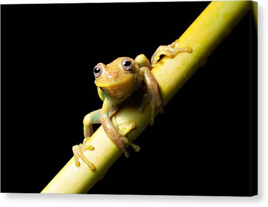 Tropical Rainforests Canvas Print - Tree Frog by Dirk Ercken