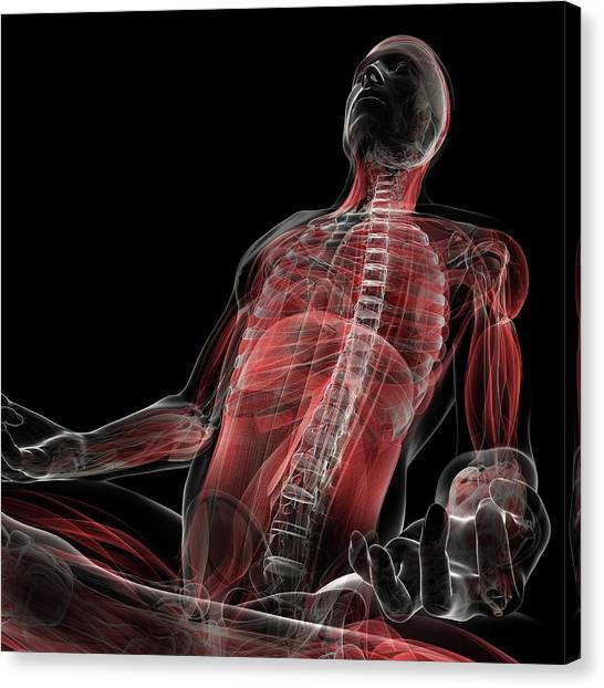 Male Musculature Canvas Print by Sciepro/science Photo Library