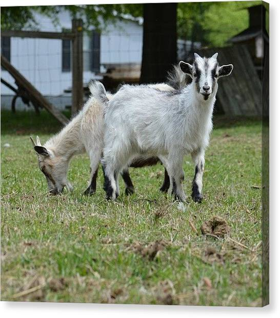 Goats Canvas Print - Pretty Goats by Jessica Thomas