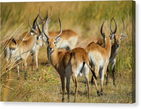 Okavango Swamp Canvas Print - Africa, Botswana, Moremi Game Reserve by Paul Souders