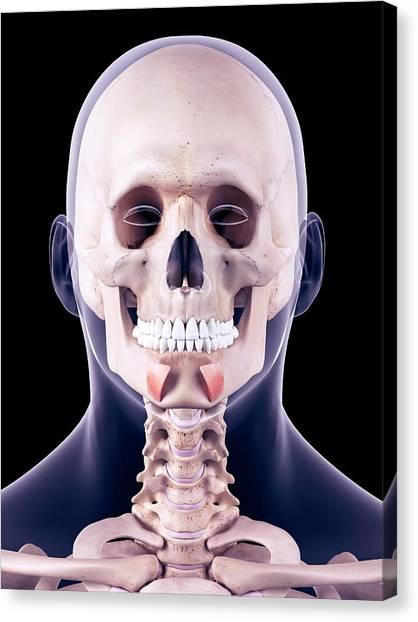 Facial Muscles Canvas Print by Sebastian Kaulitzki/science Photo Library