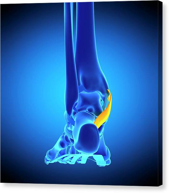Foot Ligament Canvas Print by Sebastian Kaulitzki/science Photo Library