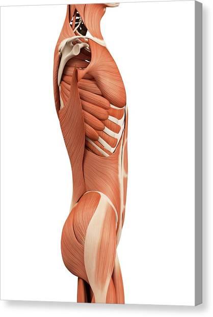 Human Abdominal Muscles Canvas Print by Sebastian Kaulitzki