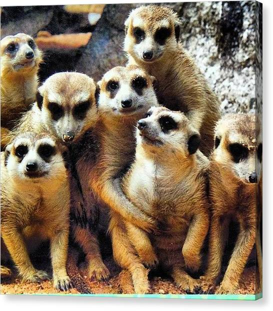 Meerkats Canvas Print - Instagram Photo by Vicky Combs