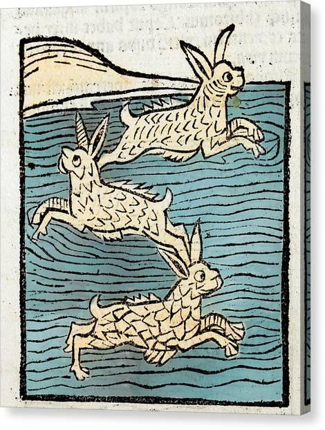 1491 Sea Hares From Hortus Sanitatis Canvas Print by Paul D Stewart