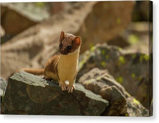 Weasels Canvas Print - Usa, Colorado, San Juan Mountains by Jaynes Gallery