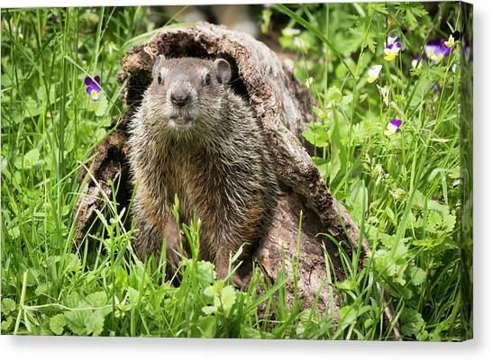 Groundhogs Canvas Print - Usa, Minnesota, Sandstone, Minnesota by Jaynes Gallery