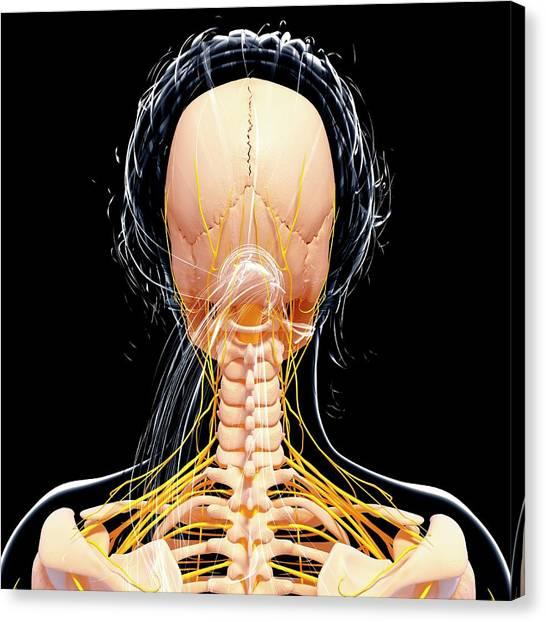 Female Nervous System Canvas Print by Pixologicstudio/science Photo Library