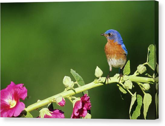 Eastern Bluebird (sialia Sialis Canvas Print by Richard and Susan Day