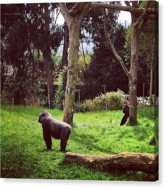 Gorillas Canvas Print - Instagram Photo by Jeremy Bomford