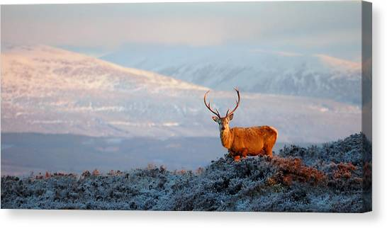 Red Deer Stag Canvas Print