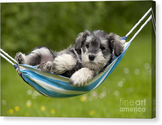 Schnauzers Canvas Print - Schnauzer Puppy Dog by John Daniels