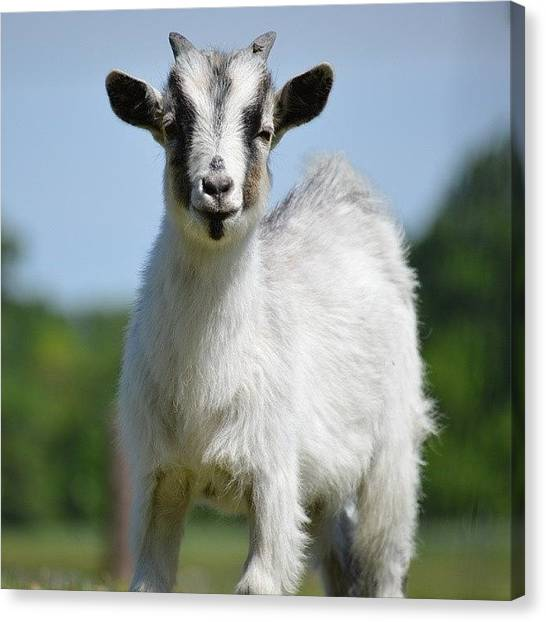 Goats Canvas Print - Goat by Jessica Thomas